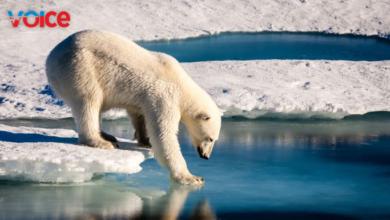 Photo of Kutup ayıları açlıktan ölüyor